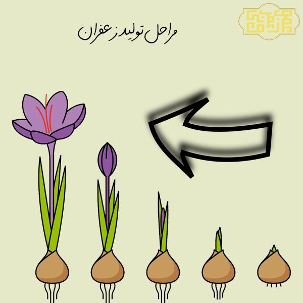 مراحل تولید زعفران