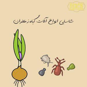 انواع آفات گیاه زعفران
