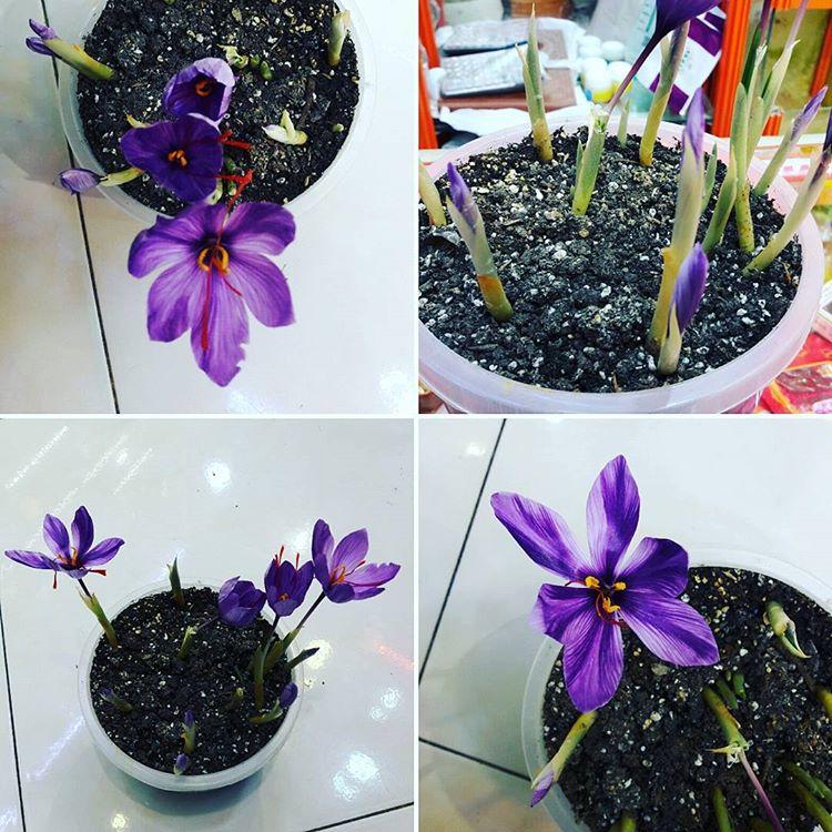 پکیج کاشت پیاز زعفران در گلدان + آموزش کامل + پشتیبانی رایگان